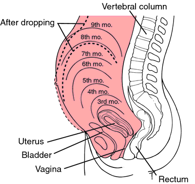 gravidanza utero